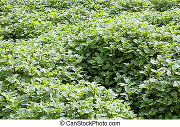 Field of Mint Leaves - Image of a field of growing mint...