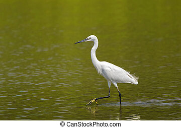 Little egret aquatic heron with black legs, yellow feet...