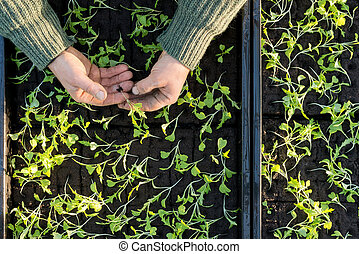 Hands Holding a Sapling with Seedling Boxes in Background