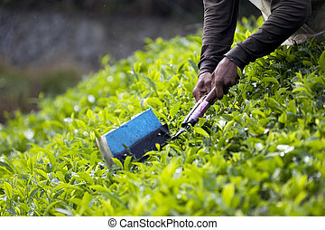 Tea Leaf Harvesting - Image of tea leaves being harvested