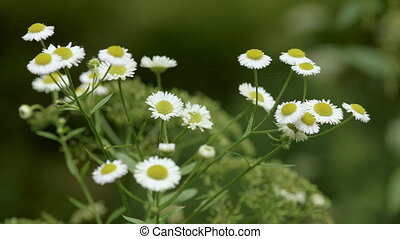 Chamomile flower in the park