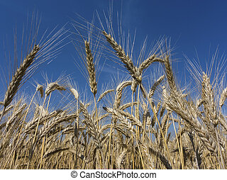 wheat field - a box of cereal (wheat) just before the...