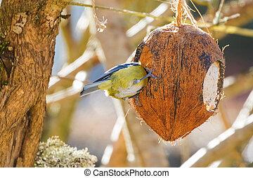 Eurasian blue tit birdeating inside Coconut Shell suet...