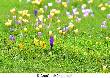 primavera, flores,  -, Açafrão