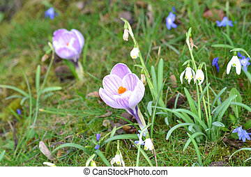 Spring flowers - crocus and snowdrops