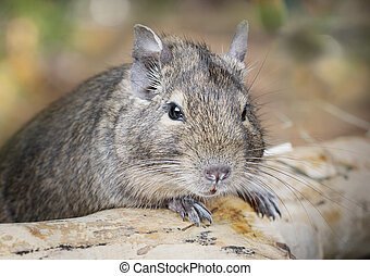 Small degu in the woods - Small degu put the paws on a snag...