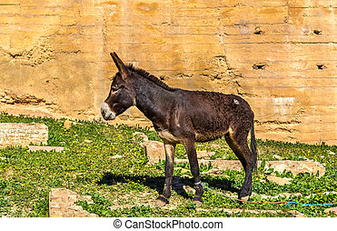Donkey at the city walls of Fes, Morocco - Donkey at the...