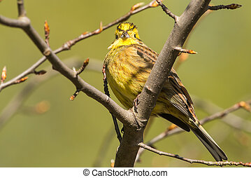 yellowhammer Emberiza citrinella in a tree