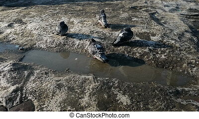 pigeons bathe in water in the city in the winter