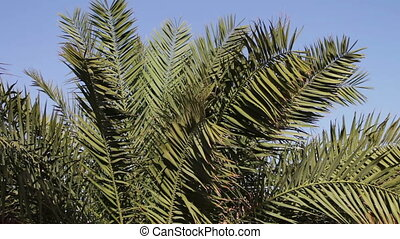 Palm tree branches sway in the wind