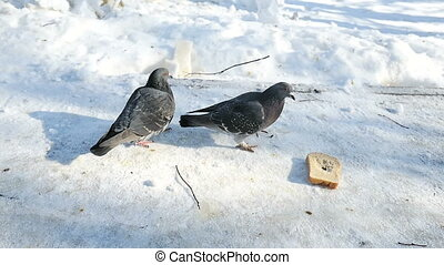 pigeons peck bread in the winter