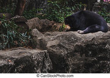 malayan sun bear honey bear helarctos malayanus