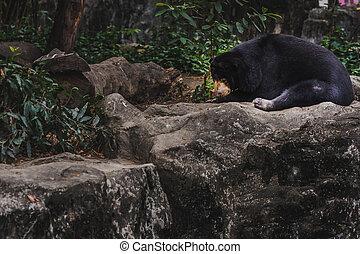 malayan sun bear honey bear helarctos malayanus