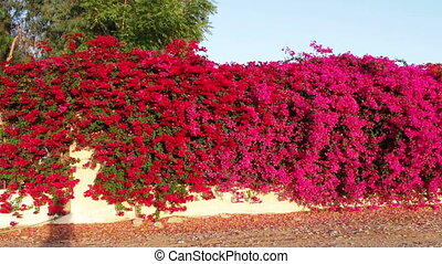 Blooming pink flowers on a fence