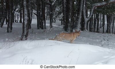 Big brown dog frolic and running around in the snowy winter...