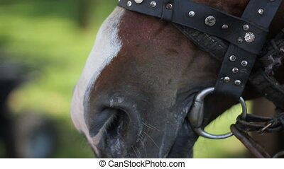 muzzle and nostrils of the racing horse close-up