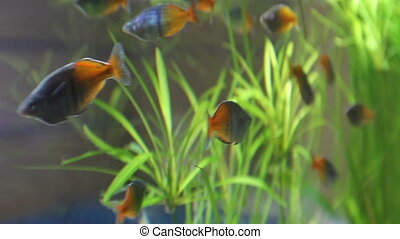 beautiful aquarium with two color fishes