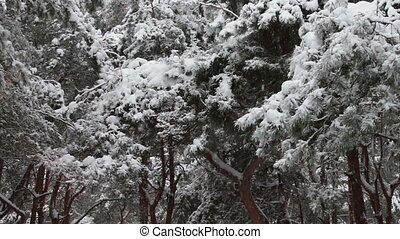 Forest where it is snowing and covers the branches of trees...