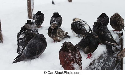 Lot of gray frozen pigeons sitting on a snowy trash box -...