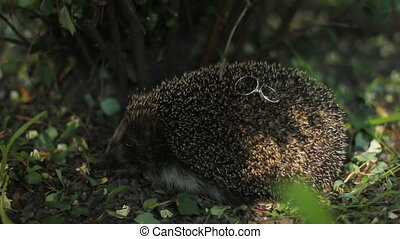 Hedgehog with wedding rings on needles sitting in bushes