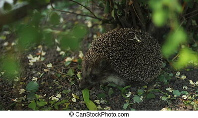Hedgehog with couple of wedding rings on needles in forest