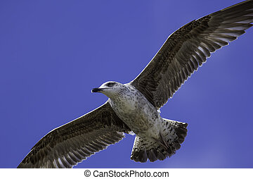 Juvenile seagull close-up in flight. Flying overhead against...