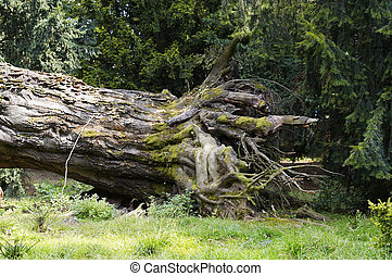 roots - Shot of the roots of uprooted tree - weeping spruce