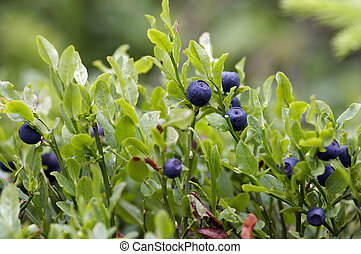 blueberry shrubs - Close-up of the blueberry shrubs - forest...