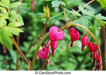 Beautiful dicentra flower - Beautiful fresh dicentra flower...