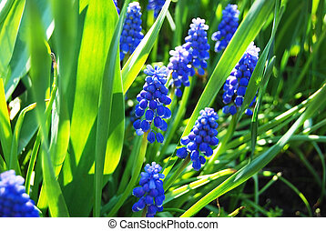 Puple hyacinth flower - Beautiful fresh purple hyacinth in...