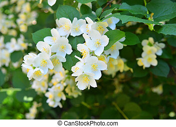 Beautiful jasmine flower - Beautiful white jasmine flower,...