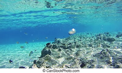 Colorful Tropical Fish on Coral Reefs Underwater in the Red...