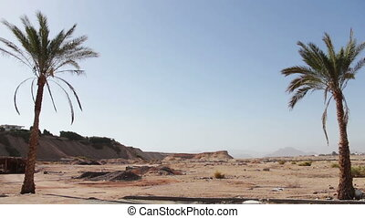 palm tree in desert - palm tree swaying in the wind in the...