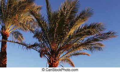 Palm trees in Egypt against blue sky - Beautiful furry palm...