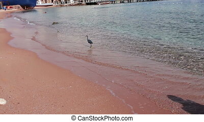 Sea bird catching a fish on the shore of the Red Sea in...