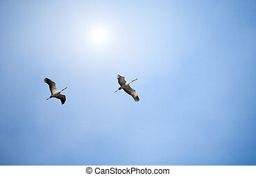 Two cranes fly overhead against a pale sky