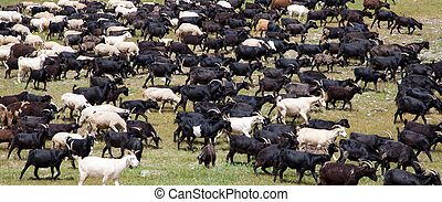 A large flock of sheep