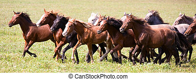 Un, manada, joven, caballos