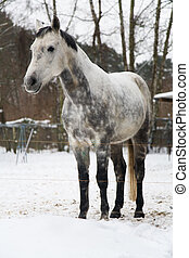 dapple-gray horse in the corral stables