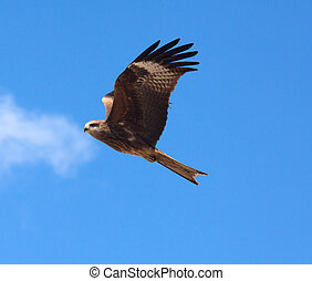 Predatory bird soaring in the blue sky, watching for its...