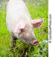 Domestic pig on green grass