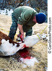Killing cows. The traditional way of Siberian Kazakhs