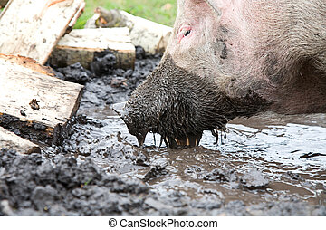 Pig sifting through puddle, because she is from Russia