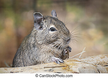 Degu in the woods - Small degu put the paw on a snag and...