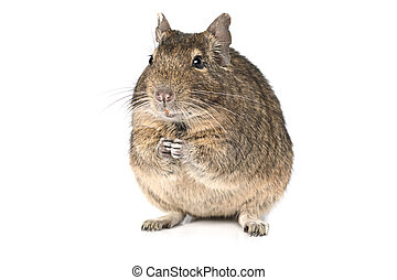 Degu isolated on a white - Small degu sitting on hind legs...