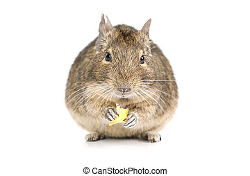 Small Degu isolated on a white - Small degu eating dried...