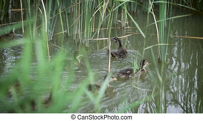 Ducks swim around the pond, around the bushes. Little ducks are very nice, they are in their natural habitat.