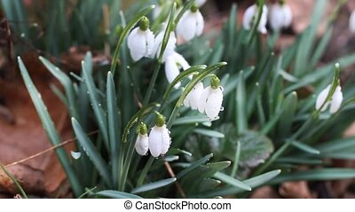 Close-up of forest snowdrops in sunshine