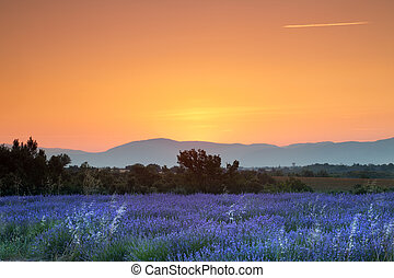 Sunrise over lavender - Sunrise over a summer lavender field...