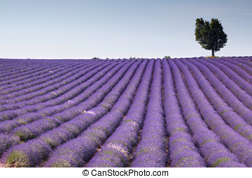Fields of Provence - Endless rows of scented flowers in the...